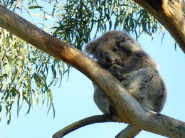 A more normal pose for a koala , John K - September 2014