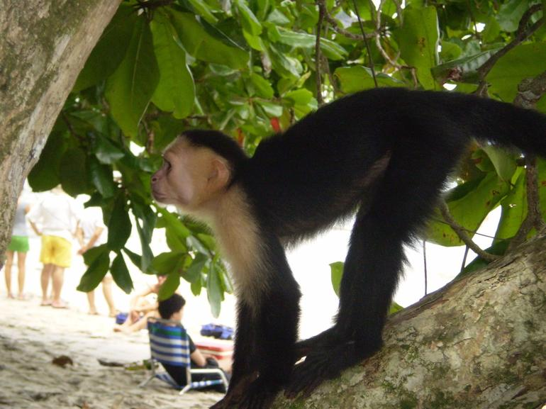 White Face Monkey, Manuel Antonio National Park - San Jose