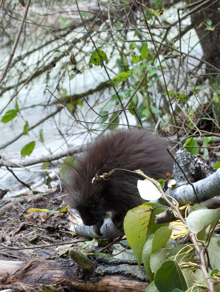 A young porcupine on the river bank. - Skagway
