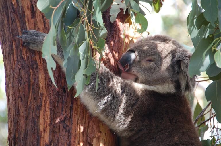 Koala Conservation Center, Phillip Island - Melbourne