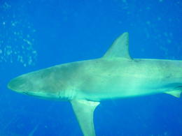Photo of Oahu Oahu Shark Dive Oct 20, 2011
