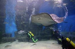 Photo of Melbourne Shark Walking Experience at Melbourne Aquarium Stingray!