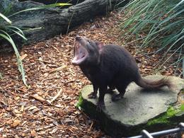 Photo of Sydney Hunter Valley Wineries and Wilderness Small-Group Tour Tasmanian devil