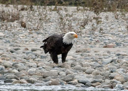 A bald eagle eating a fish. , Suzanne R - September 2013