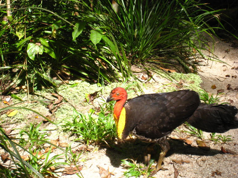 Brush Turkey - Port Douglas