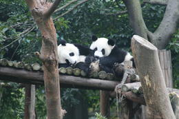 Photo of Beijing Beijing Lama Temple, Panda Garden and Ancient Altar Day Tour chengdu pandas 1.JPG