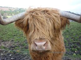 The most photographed bull in the UK!, Rita C - March 2009