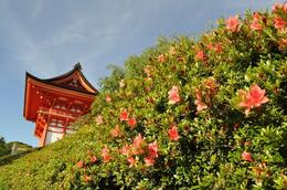 Enjoy a lot of color variation of Azalea, orange, purple, white etc. This picture was taken at Kiyomizu temple in May. , Kyoto Expert: Satoko - May 2012