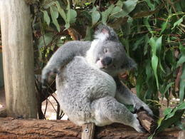 Photo of Brisbane Best of Brisbane Full-Day Sightseeing Tour koala sanctuary