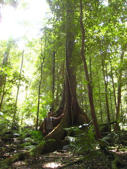 Beyond the main rock pools, you can step in the rainforest and see giants Spurwood trees , Patricia P - January 2011