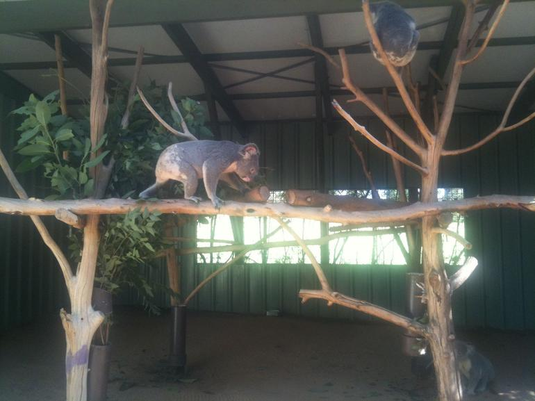 Koala at Lone Pine sanctuary - Brisbane