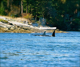 Photo of Vancouver Howe Sound Sea Safari Cruise Orcas in the Strait of Georgia
