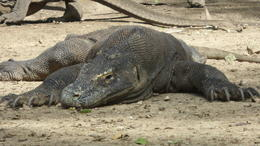 One of the biggest Komodo's I saw!!!!! , Judy R - February 2014