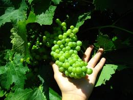 Photo of Rome Frascati Wine Tasting Tour from Rome The grapes on the vine