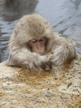 A baby monkey relaxing in hot spring water - May 2013