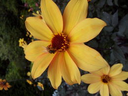 A flower with bee at Butchard Gardens, Vancouver island , Jochen M - October 2013