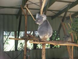 Photo of Brisbane Brisbane Afternoon City Tour including Lone Pine Koala Sanctuary and Mt Coot-tha Koala