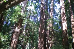 The Muir Woods park is a must visit when you are in SFO area., Sunil S - August 2009