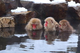 A snow monkey family came to relax - May 2013