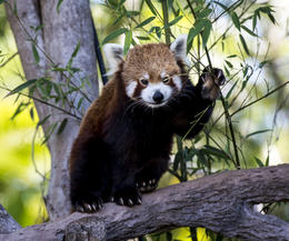 Red Panda at Australia Zoo , Clifford R - August 2014