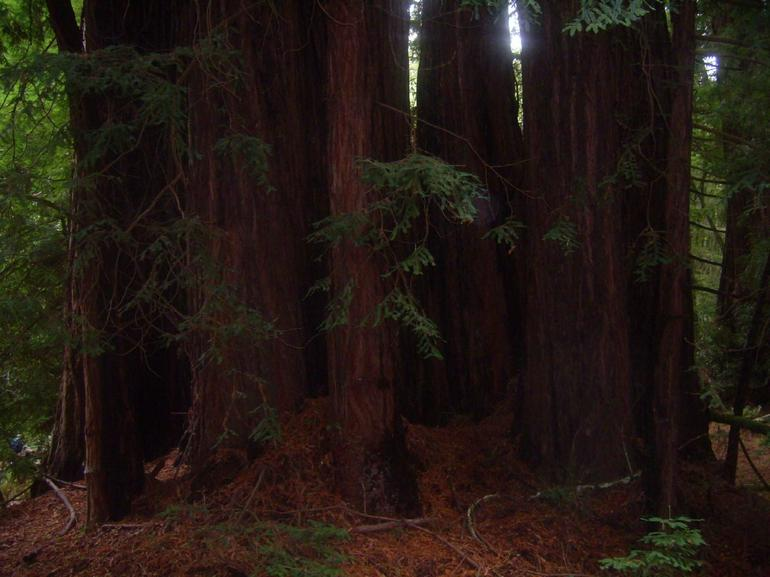 Redwoods at Muir Woods - San Francisco