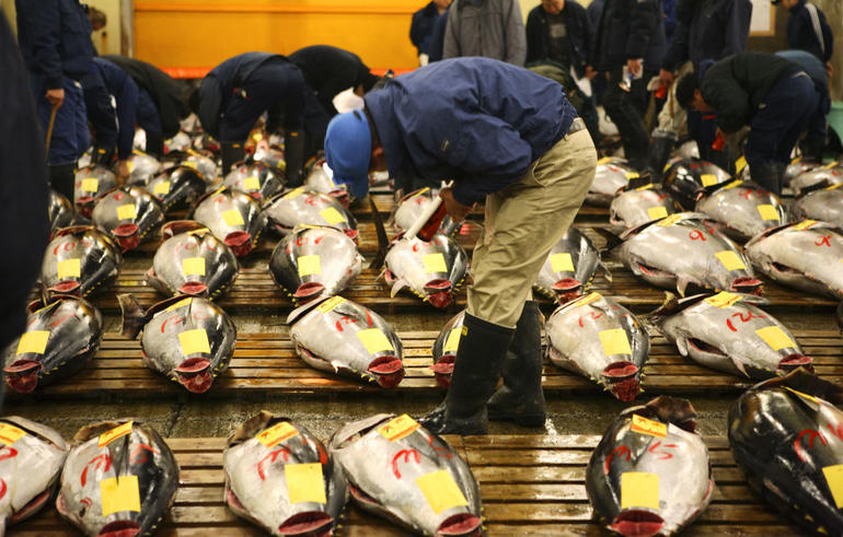 A fish dealer checking the quality of each Maguro (tuna)