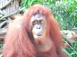 This is one of the many beautiful gentle Orangutans who wander around the zoo, and come to visit for a photo while you enjoy breakfast at the zoo. - July 2010