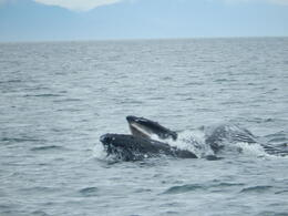 humpback whale feeding time , Dawn B - June 2014