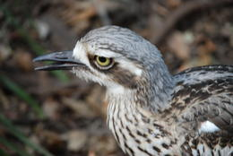 Photo of Brisbane Best of Brisbane Full-Day Sightseeing Tour Bush Thick Knee at Lone Pine