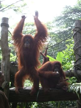 Photo of Singapore Singapore Zoo Morning Tour with optional Jungle Breakfast amongst Orangutans Showing off for his guests