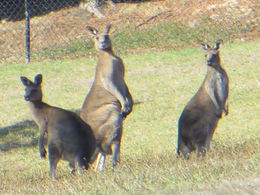 Photo of Melbourne Yarra Valley Wine and Winery Tour from Melbourne Wild Kangaroos