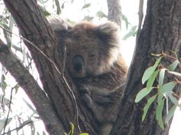 You'll need a good camera, they are fairly high up in the eucalyptus trees. - April 2010
