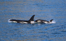 Watching Orcas play , Patrick L - August 2015