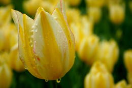 Photo of   Yellow tulip with dew