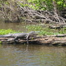 Photo of New Orleans Swamp and Bayou Sightseeing Tour from New Orleans Now that's a big gator....