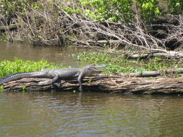 Photo of New Orleans Swamp and Bayou Sightseeing Tour with Boat Ride from New Orleans Now that's a big gator....