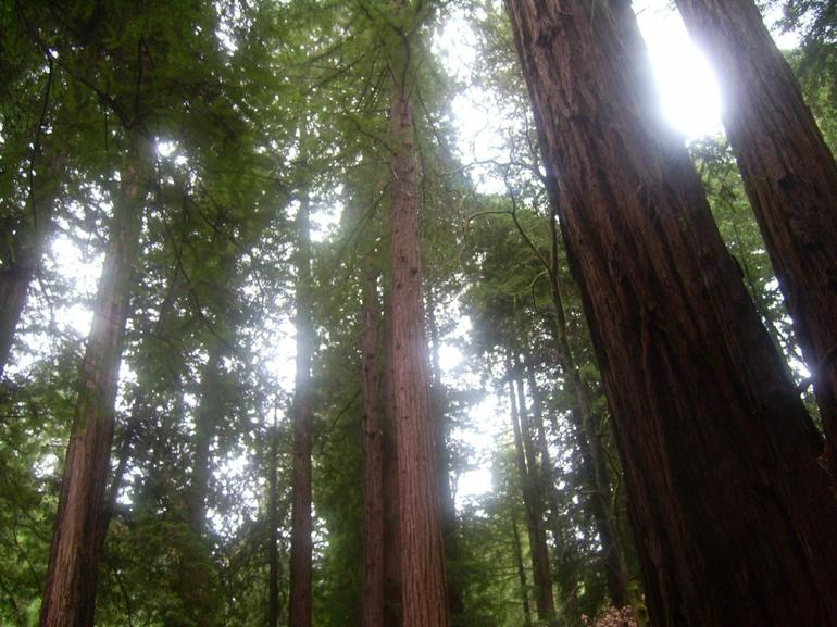 Redwood forest at Muir Woods - San Francisco