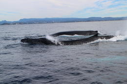 Photo of Gold Coast Half-Day Whale Watching and Canal Cruise from the Gold Coast whales