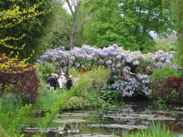 The wisteria was in full bloom over the bridge at the lily pond. , marilynq1952 - May 2014