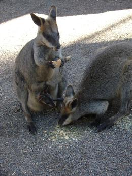 Photo of Sydney Blue Mountains Day Trip and River Cruise Feeding the kangaroos
