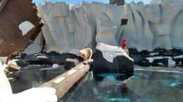 The Polar Bear here at Sea World looked really healthy in comparison to some of the other Polar Bears I've seen, Josh - February 2015