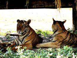 Photo of Bangkok Bangkok Safari World Zoo and Marine Park tigers