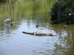 Watching the gators out in their own habitat - April 2013