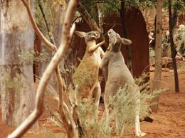 Photo of Sydney Blue Mountains Day Trip and River Cruise Kangaroos  playing