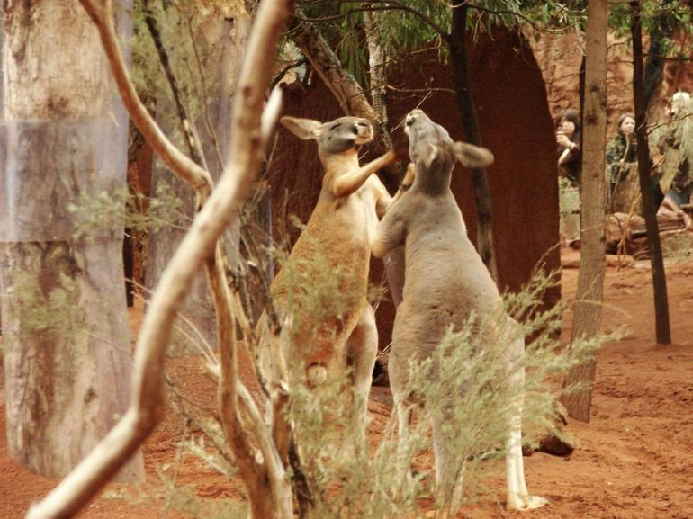 Kangaroos  playing - Sydney