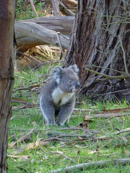 This koala climbed down its tree, walked around, over the path, and climbed another tree. The staff at the preserve seemed to think that this was a rather unusual event! , John K - September 2014