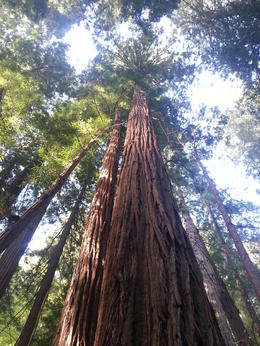 Typical example of redwoods in Muir Woods , Northern Baggie - September 2012