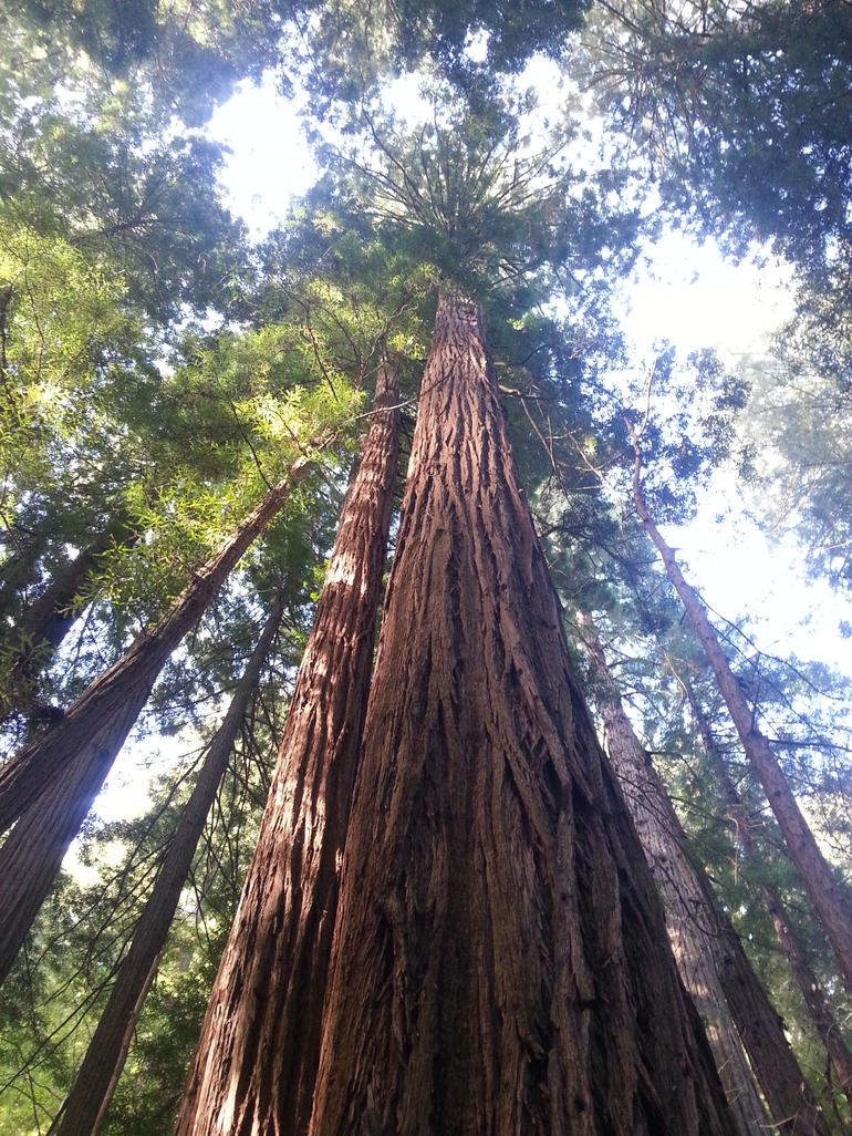 Redwoods in Muir woods - San Francisco