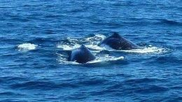 Two humpbacks near the boat , KATHERINE H - July 2015