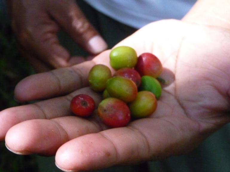 Coffee beans fresh from the jungle - Cusco